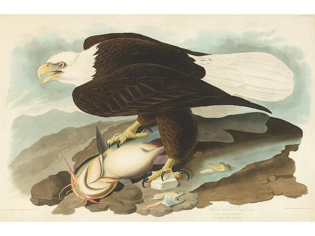 After John James Audubon (American, 1785-1851); White-headed Eagle, Male  (Pl. 31);