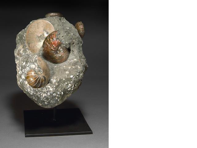 Scaphite and Ammonite Cluster