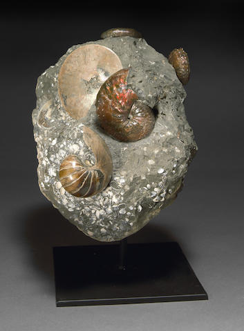 Scaphite and Ammonite Cluster