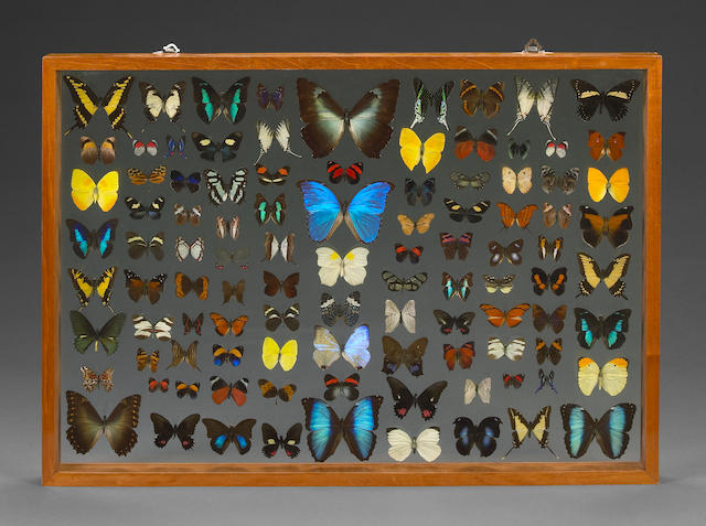 Framed Collection of One Hundred Butterflies