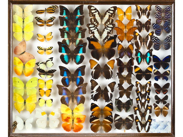 Sixty Framed Butterfly Collections