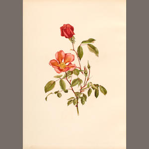 WILLMOTT, ELLEN. 1858-1934. ****Genus Rosa, The London: John Murray, 1910-14..