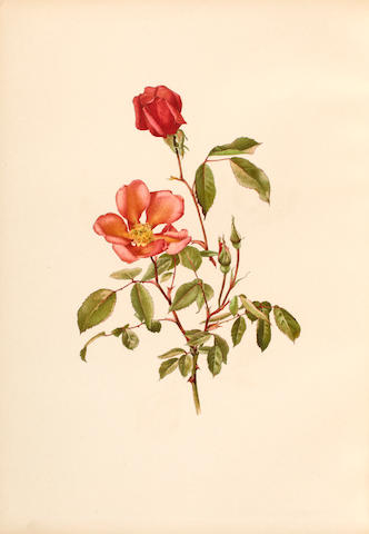 WILLMOTT, ELLEN. 1858-1934. The Genus Rosa. London: John Murray, September 1910- March 1914.