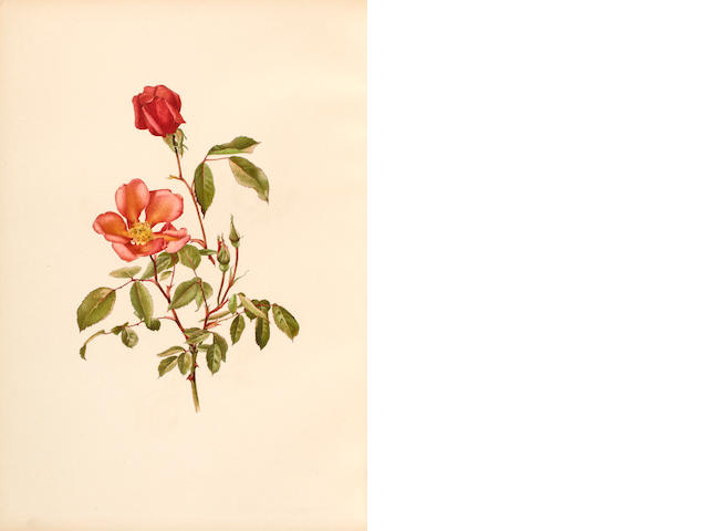 WILLMOTT, ELLEN. 1858-1934. ****Genus Rosa, The London: John Murray, 1910-14.<BR>