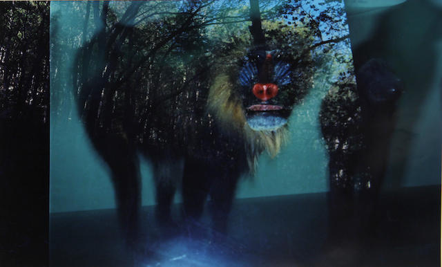 Jacqueline Hayden (American, born 1950); Mandrill in Rock Creek Park;