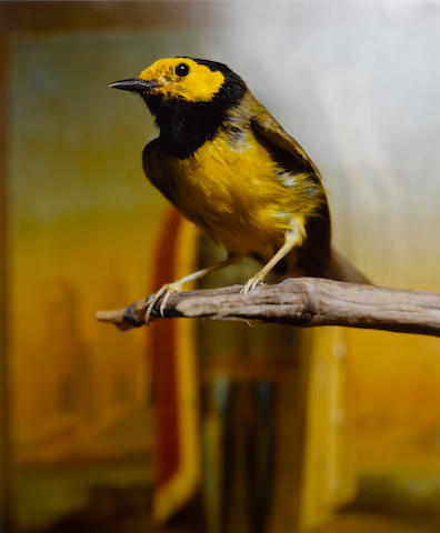 Andres Serrano (American, born 1950); Hooded Warbler II;