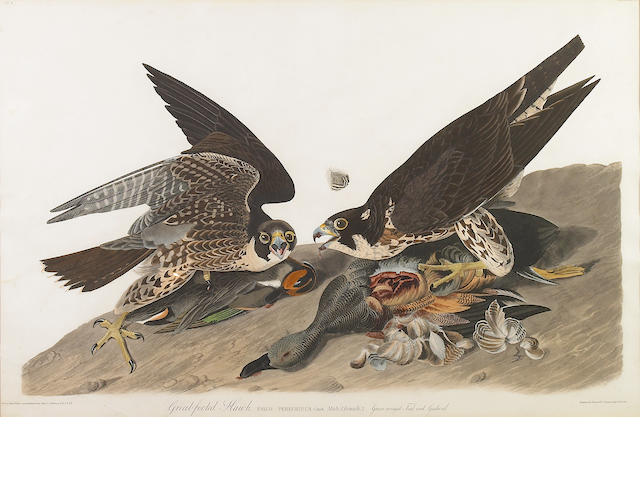 John James Audubon (American, 1785-1851); Great Footed Hawk engraving w/aquatint;