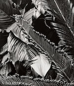 Brett Weston (American, 1911-1993); Tree Bark; Fern Study; (2)