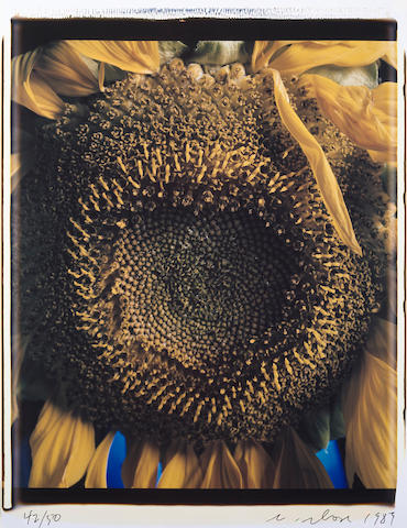 Chuck Close (American, born 1940); Sunflower;