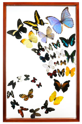 Collection of Framed Lepidoptera