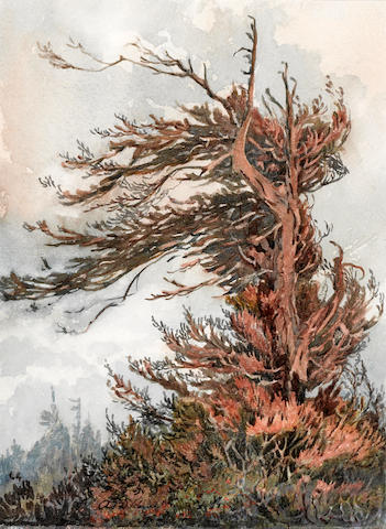 Albert Thomas DeRome (American, 1885-1959) Weeping redwood, Brainard's Point, south of Arcata, 1918 10 1/2 x 7 3/4in