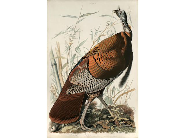 Audubon, John James. Great American Cock Male—Vulgo (Wild Turkey—)  Meleagris gallopavo