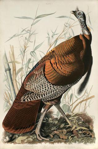Audubon, John James. Great American Cock Male—Vulgo (Wild Turkey—)  Meleagris gallopavo