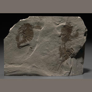 Three Eurypterids