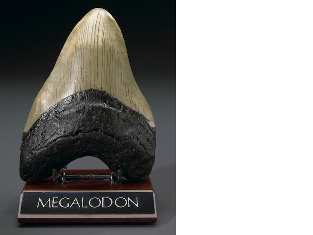 Caccharodon Shark tooth, 6in