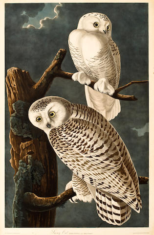 After John James Audubon (American, 1785-1851) Snowy Owl (Pl. 121)  From the Havell edition of The Birds of America, handcolored engraving with aquatint and etching, laid down, framed. sheet size 38 x 25in