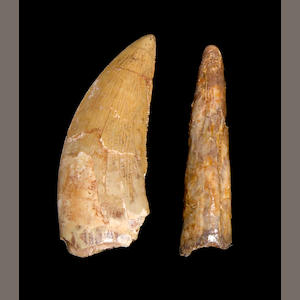 African Predator Teeth Set