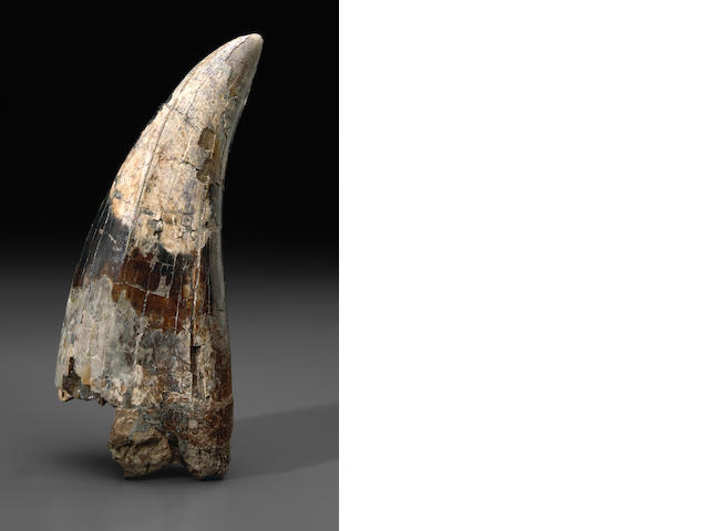Very Large T. rex Tooth