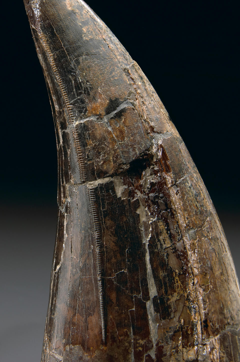 Recent T. rex Discovery – One of the Largest T. rex Teeth Ever Found