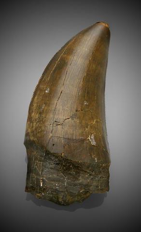 An Excellent T. rex Tooth