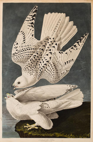 After John James Audubon (American, 1785-1851) Iceland or Jer Falcon (Pl. 366), 1837 From the Havell edition of The Birds of America, handcolored engraving with aquatint and etching on J Whatman 1837? paper, 2 short tears at bottom and right margins, light edge-toning, framed. sheet 37 3/4 x 25in