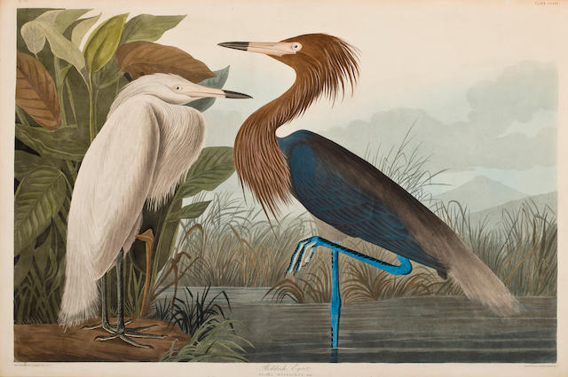 After John James Audubon (American, 1785-1851) Reddish Egret (Pl. 251), 1835 From the Havell edition of The Birds of America, handcolored engraving with aquatint and etching, laid down, framed. sheet 25 x 37in
