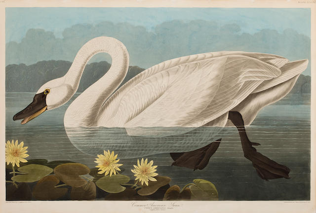 After John James Audubon (American, 1785-1851) Common American Swan (Pl. 411), 1838 From the Havell edition of The Birds of America, handcolored engraving with aquatint and etching, laid down, framed. sheet 26 x 38in