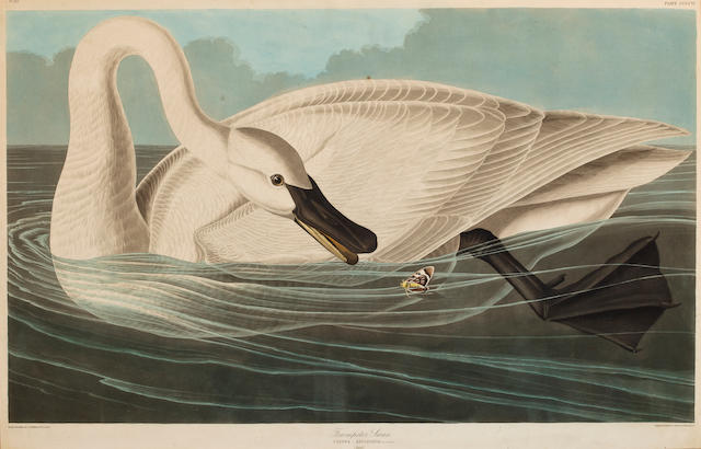 After John James Audubon (American, 1785-1851) Trumpeter Swan (Pl. 406), 1838 From the Havell edition of The Birds of America, handcolored engraving with aquatint and etching, laid down, framed. sheet 24 1/2 x 38in