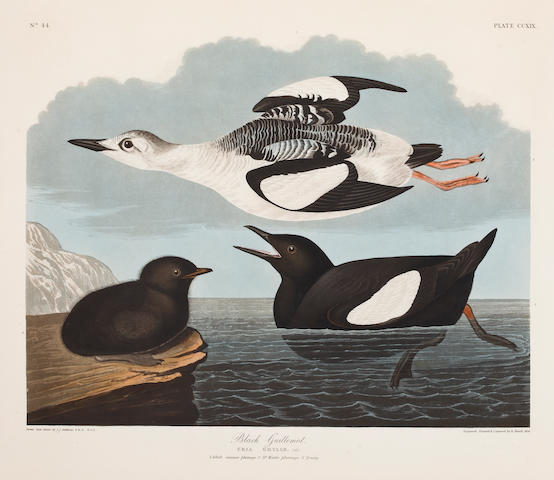 AUDUBON, JOHN JAMES. 1785-1851, after. Black Guillemot. Uria grylle. [Plate 219.] London: R. Havell, 1834.