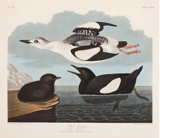 Audubon.  Black Guillemot