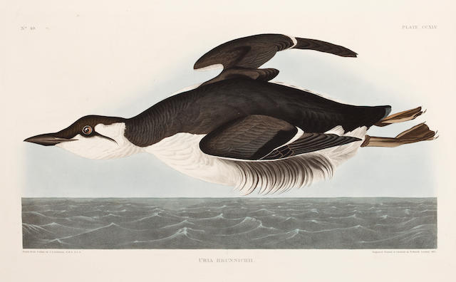 AUDUBON, JOHN JAMES. 1785-1851, after. Uria brunnichii. [Plate 145.] London: R. Havell, 1835.