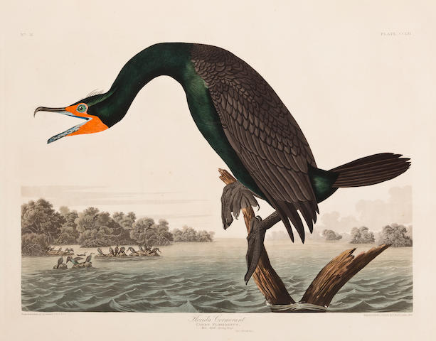AUDUBON, JOHN JAMES. 1785-1851, after. Florida Cormorant. Carbo floridanus. [Plate 252.] London: R. Havell, 1835.