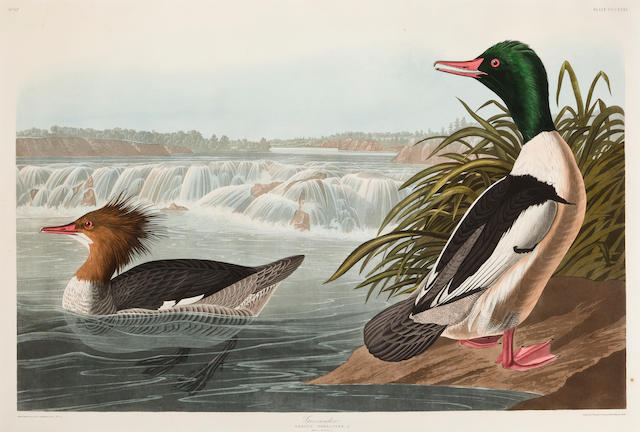 AUDUBON, JOHN JAMES. 1785-1851, after. Goosander. Mergus merganser. [Plate 331.] London: R. Havell, 1836.