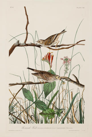 AUDUBON, JOHN JAMES. 1785-1851, after. Savannah Finch, Fringilla savanna. [Plate 109.] London: R. Havell, 1831.