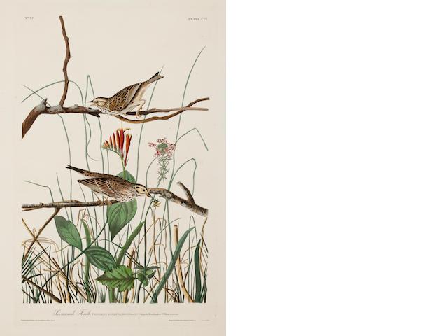 Audubon.  Savannah Finch.