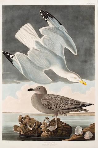 AUDUBON, JOHN JAMES. 1785-1851, after. Herring Gull. Larus Argentatus. [Plate 291.] London: R. Havell, 1836.