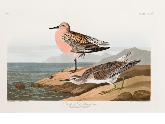 Audubon.  Red Breasted Sandpiper.
