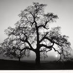 Ansel Adams (American, 1902-1984); Oak Tree, Sunset City, Sierra Foothills, California;