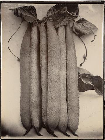 Charles Jones (British, 1866-1959); Bean Runner;