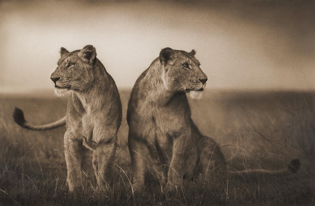 Nick Brandt (British, born 1966); Lionesses Readying to Hunt;