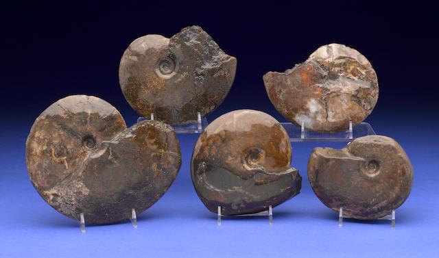 Five Ammonites