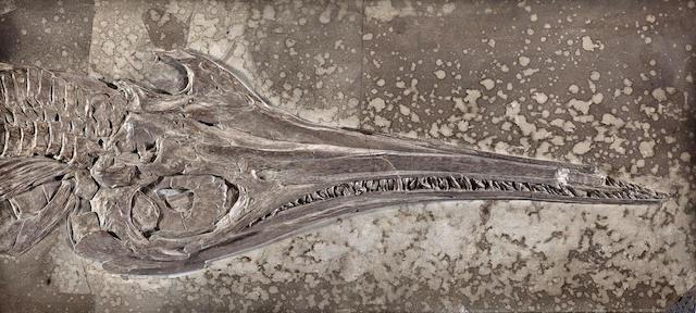 Large Marine Reptile Skull