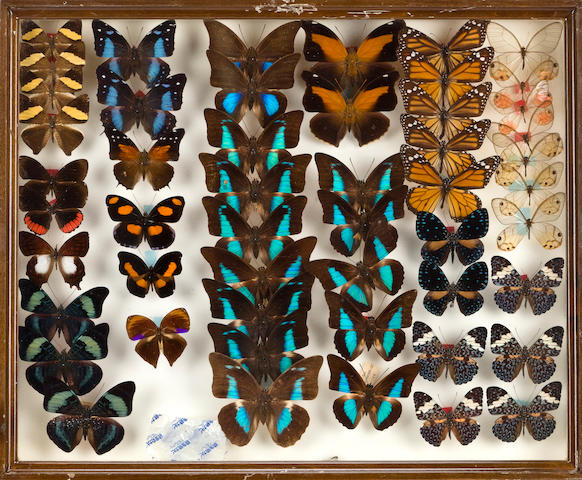 Collection of Butterflies in 40 framed cases