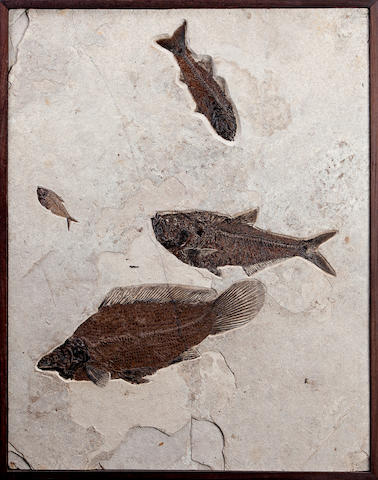 Amia Fossil Mural