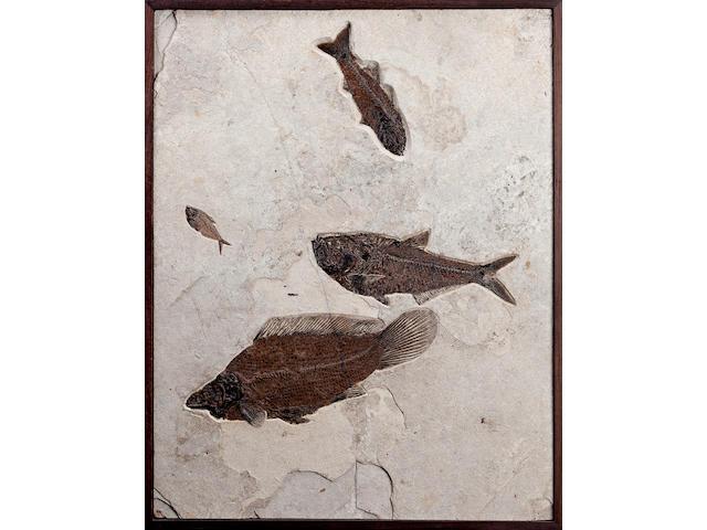 Amia Fossil Fish Mural