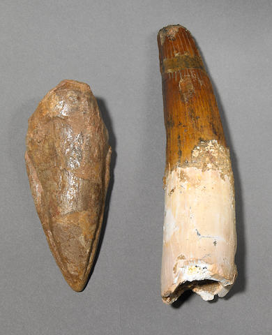 Spinosaurus foot claw tooth