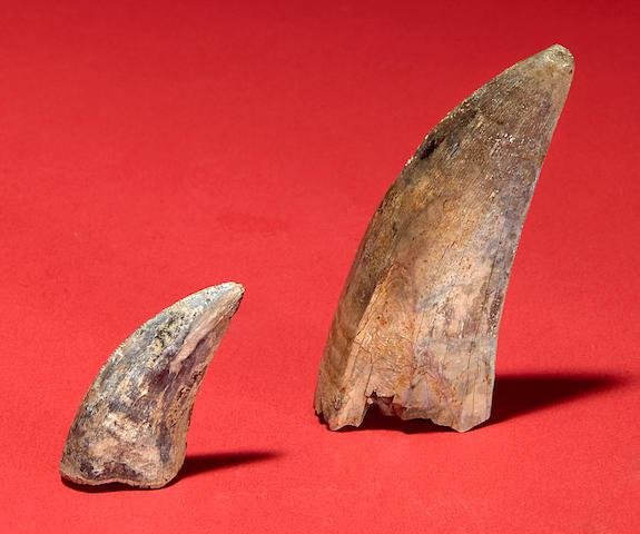 Two Fine T. rex Teeth