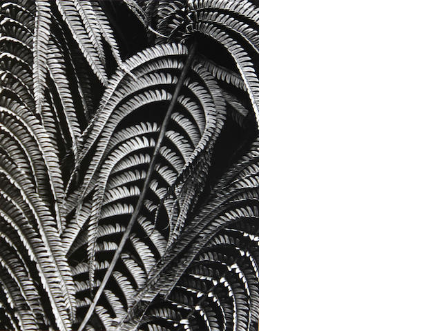 Brett Weston (American, 1911-1993); Fern, Hawaii;