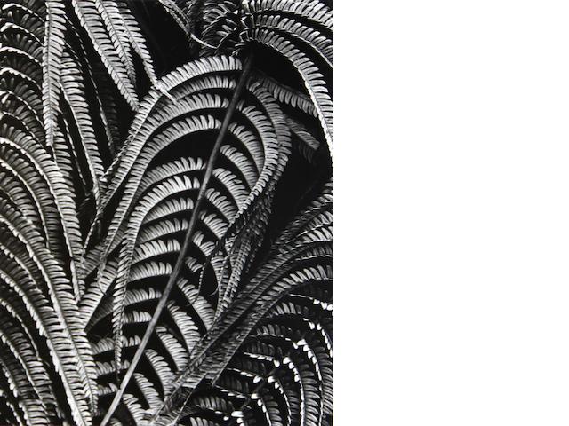 Brett Weston (American, 1911-1993); Fern, Hawaii;