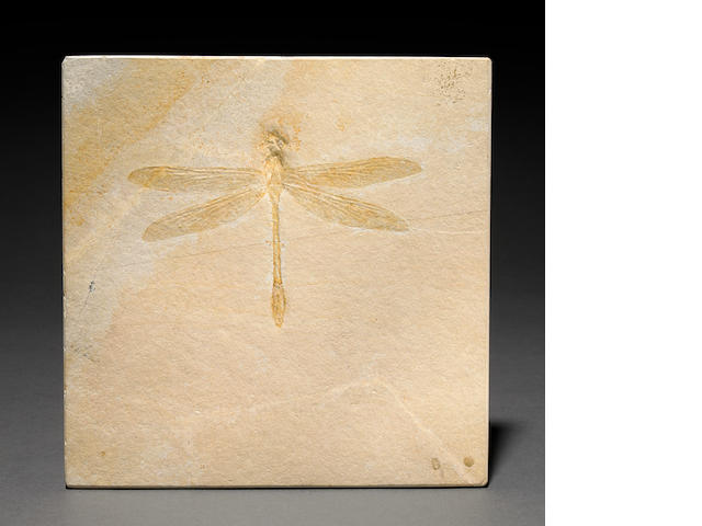 Fossil dragonfly 4.9 in.
